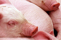 Photo of Pigs Sleeping